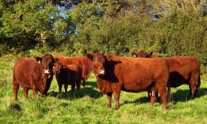 Eveleigh Red Devon cattle 2