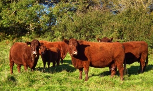 Eveleigh Red Devon cattle 2