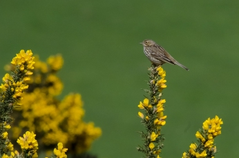 Meadow Pipit on gorse, North Hill, Exmoor