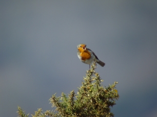 Singing Robin on gorse (Credit: Nigel Stone, ENPA)