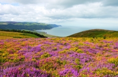 Porlock Bay with Heather and Gorse (Credit: Heather Lowther, ENPA)