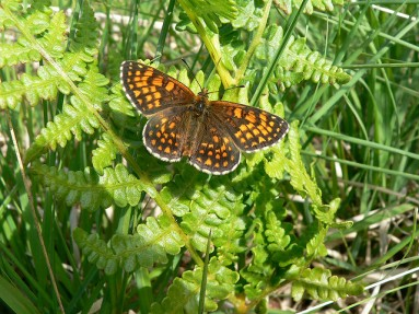 heath-fritillary